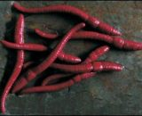 Imitace hnojné žížaly v dipu 8ks